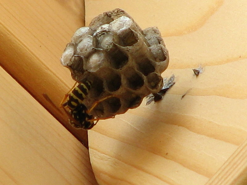 Getting Rid of Wasp Nest