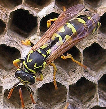 Wasp Nest Control