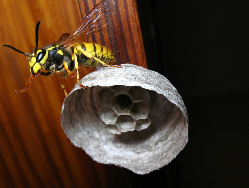 Danger of Wasps