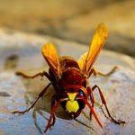 hornet removal toronto
