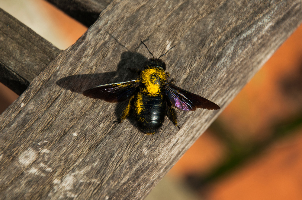 Signs of carpenter bee infestation