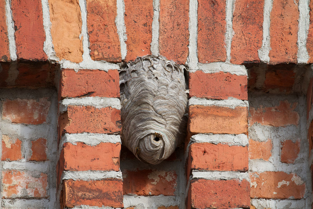 What to do about a wasp nest in the walls