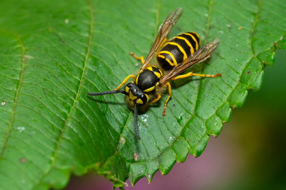 What type of wasps build nests in the ground