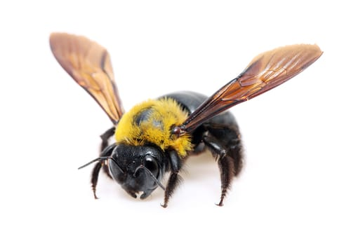 Carpenter Bees Removal