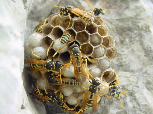 wasp infestation