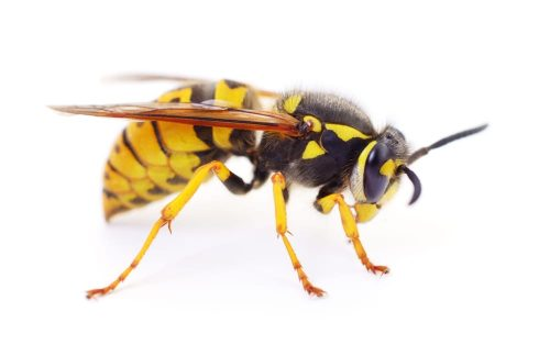 wasp control and removal service